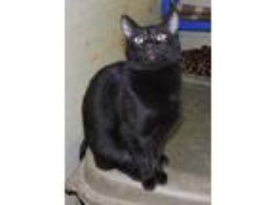 Adopt Pyewacket a All Black Domestic Shorthair / Domestic Shorthair / Mixed cat