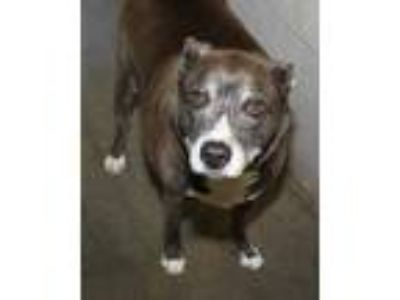 Adopt Onyx (2) a Gray/Blue/Silver/Salt & Pepper American Pit Bull Terrier /