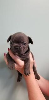 French Bulldog PUPPY FOR SALE ADN-74677 - REGISTERED FRENCH BULLDOGS FOR SALE
