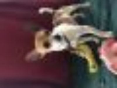 CODY Chihuahua Dog
