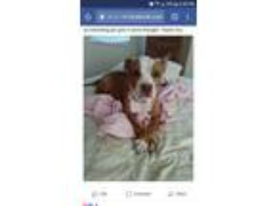Adopt Oakley a Pit Bull Terrier / Mixed dog in red oak, TX (24562960)
