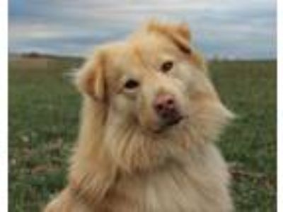 Adopt Shammie a Golden Retriever, Australian Cattle Dog / Blue Heeler