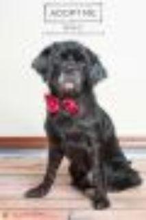 NIKO Cocker Spaniel - Pug Dog