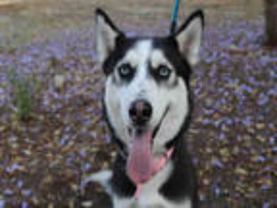 Adopt WEEKO a Black - with White Husky / Mixed dog in Upland, CA (24508586)