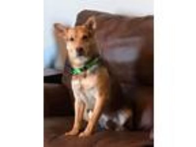 Adopt Hans a German Shepherd Dog, Spitz