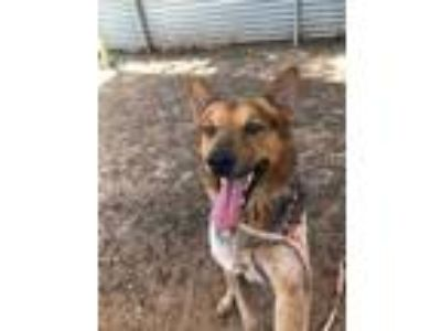 Adopt a Black - with Brown, Red, Golden, Orange or Chestnut Catahoula Leopard