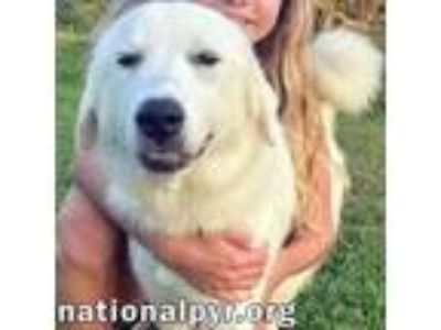 Adopt Belle - Silly & Playful a Great Pyrenees, Labrador Retriever