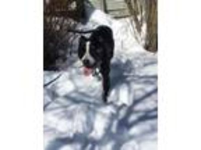 Adopt Rosie a Black American Pit Bull Terrier / Mixed dog in Orleans