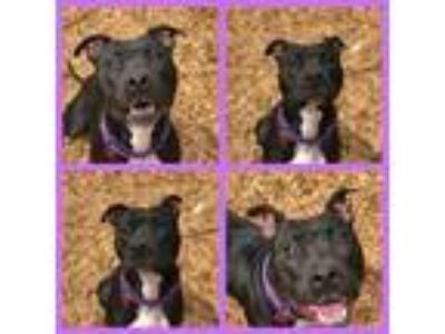 Adopt ALEE a Pit Bull Terrier, Mixed Breed
