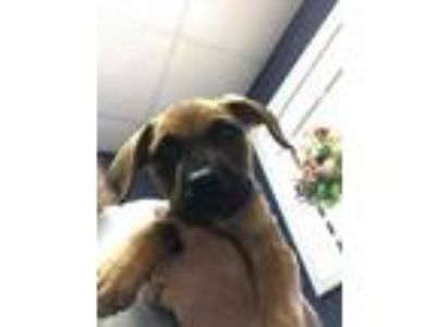 Adopt 14893 a Black Mouth Cur dog in Chatsworth, GA (25340823)
