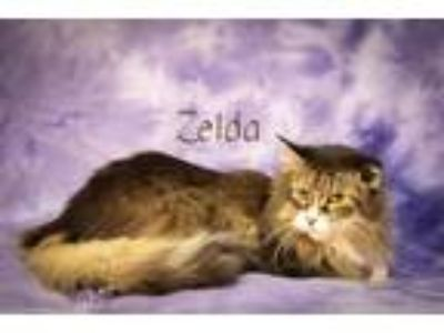 Adopt Zelda a Domestic Longhair / Mixed (long coat) cat in Sebastian