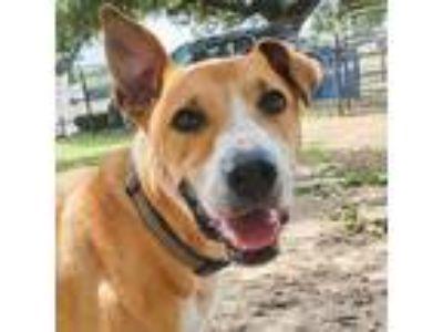 Adopt Joel a Yellow Labrador Retriever, Hound