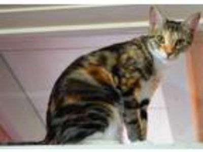 Adopt Chipper a Brown or Chocolate Domestic Shorthair / Domestic Shorthair /