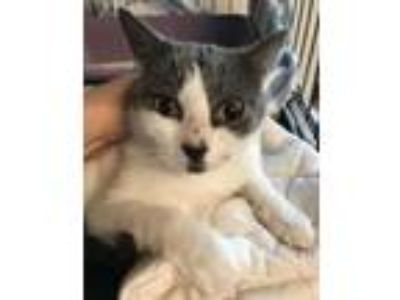 Adopt Squeeky a Domestic Short Hair