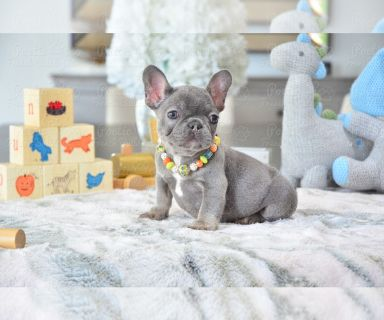 French Bulldog PUPPY FOR SALE ADN-130300 - Small Blue and Tan Female Maui