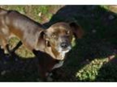 Adopt Brownie a Beagle, Labrador Retriever