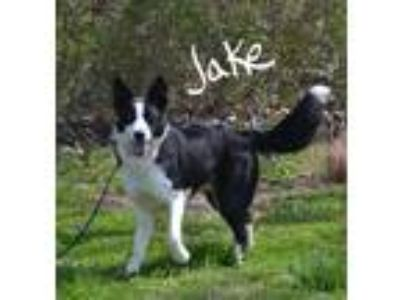 Adopt Jake a Black - with White Border Collie / Mixed dog in Lebanon