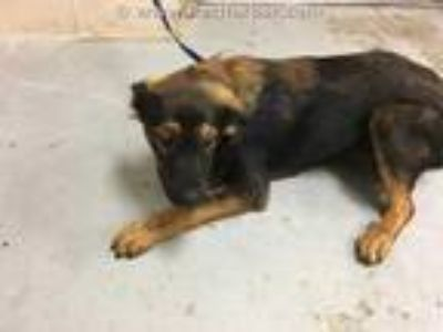Adopt a Tan/Yellow/Fawn - with Black German Shepherd Dog / Mixed dog in Conroe