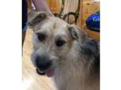 Adopt Scuttle a Terrier, Irish Wolfhound