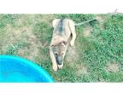 Purple - Sable female German Shepherd