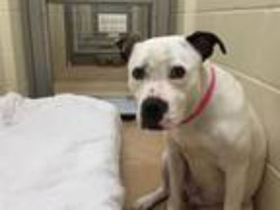 Adopt KALINA a Pit Bull Terrier, Mixed Breed