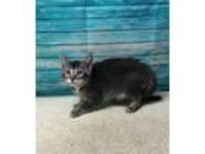 Adopt ARANEA a Abyssinian, Domestic Short Hair