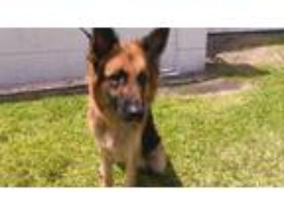 Adopt RIO a Brown/Chocolate - with Black German Shepherd Dog / Mixed dog in Fort