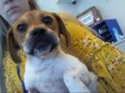 Adopt VELMA a White - with Brown or Chocolate Beagle / Pug / Mixed dog in