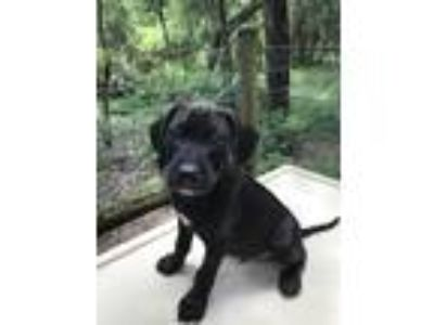 Adopt Cody a Black - with White Labrador Retriever / Hound (Unknown Type) /
