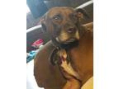 Adopt Dante a Brown/Chocolate - with White American Pit Bull Terrier dog in