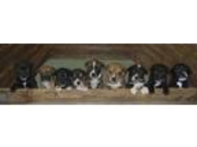 "Adopt Mavis""s pups a Border Collie"