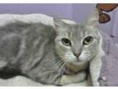 Adopt Ambrosia a Gray or Blue Domestic Shorthair / Domestic Shorthair / Mixed