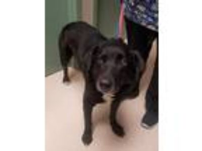Adopt Elliott a Black Labrador Retriever / Mixed dog in Rockville, MD (25289772)