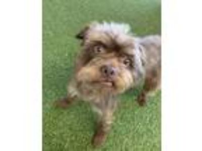 Adopt Chewbacca a Brown/Chocolate - with Tan Schnauzer (Standard) / Terrier