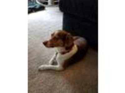 Adopt Tucker a Brown/Chocolate - with White Jack Russell Terrier / Beagle dog in