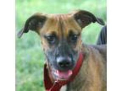 Adopt McQueen a Brown/Chocolate - with Black Boxer / German Shepherd Dog / Mixed