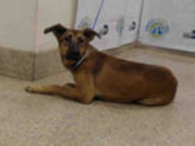 Adopt MAXIMUS a Brown/Chocolate - with Black German Shepherd Dog / Mixed dog in