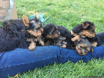 Super Free adorable Yorkie Puppies for free
