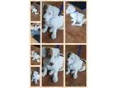 Adopt Mickey a White - with Tan, Yellow or Fawn Dachshund / Dalmatian dog in