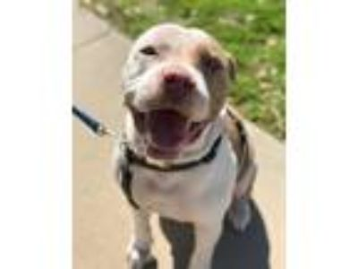 Adopt Stallone a White - with Tan, Yellow or Fawn Pit Bull Terrier dog in Allen