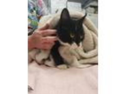 Adopt Starburst a Domestic Short Hair