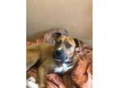 Adopt Cardi a Red/Golden/Orange/Chestnut Mixed Breed (Large) / Mixed dog in