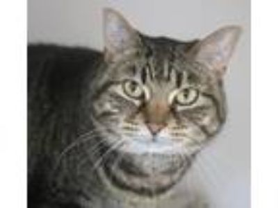 Adopt Roe a Domestic Shorthair / Mixed (short coat) cat in Highland Village