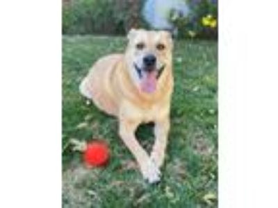 Adopt Ranger a Tan/Yellow/Fawn Labrador Retriever / Mixed dog in Burbank