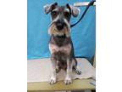 Adopt OG a Black - with White Schnauzer (Standard) / Mixed dog in Covina