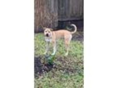 Adopt Biscuit a Tan/Yellow/Fawn - with White Anatolian Shepherd / Black Mouth