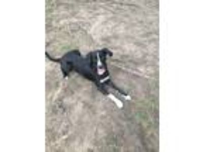 Adopt Bones a Black - with White Labrador Retriever / Border Collie dog in