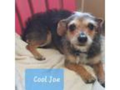 Adopt Cool Joe a Wirehaired Dachshund, Terrier