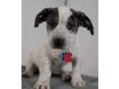 Adopt Fargo Puppy Foster Needed 5/18 a Australian Cattle Dog / Blue Heeler