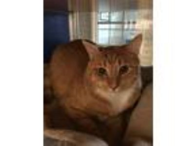 Adopt Opie a Domestic Shorthair / Mixed cat in Indiana, PA (22897546)